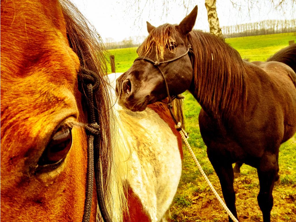 American Quarterhorses beim Kuscheln