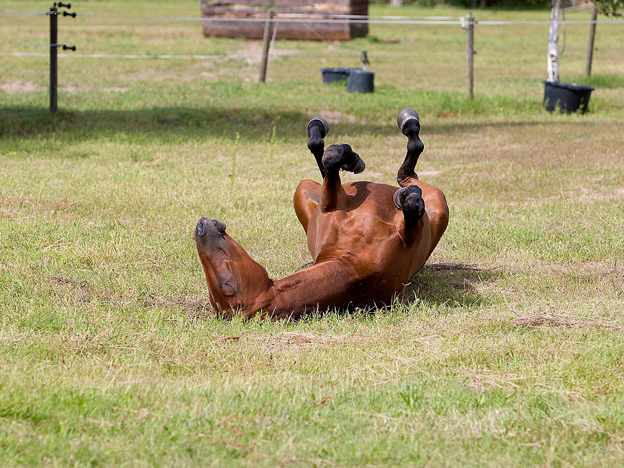 Quarterhorse beim Sonnenbaden